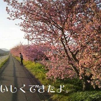 河津桜がきれいです