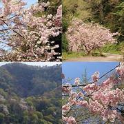 大峰山の桜 2018