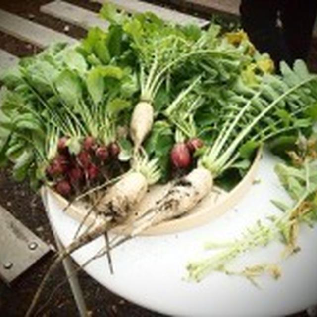 採れたて野菜 カブのまるごと活用レシピ