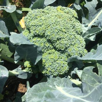 ブロッコリー、ニンニク収穫