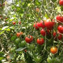 今年もトマト! Our Tomatoes
