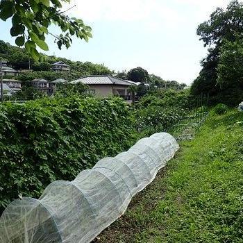 カボチャ日除け帽子☆葉山野菜栽培記(7月初旬)