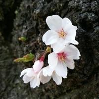 ソメイヨシノが咲きました♪