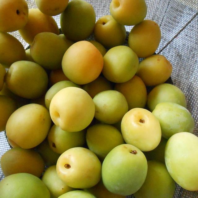 梅の実の季節です