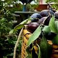 プルーンの収穫そしてジャム作りへ