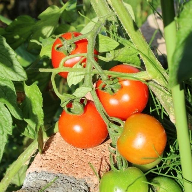 フルーツトマトとおかめガーデン。~キャベツでお手軽サムギョプサル~
