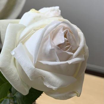ホワイトクリスマス、ラ・フランス、ドフトボルケ…自宅の薔薇が咲きました